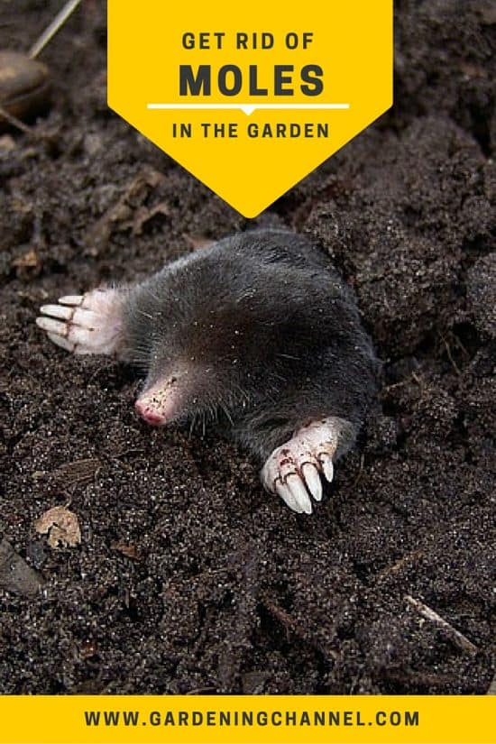 Getting Rid of Moles in the Garden
