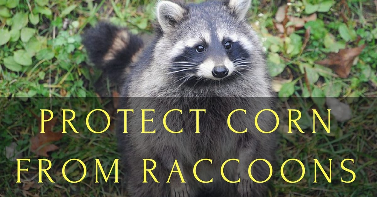 Protect Corn From Raccoons  Even Learn A Trick With Squash
