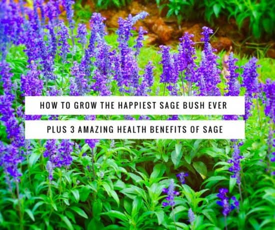 How to Grow the Happiest Sage Plant Ever + 3 Amazing Health Benefits