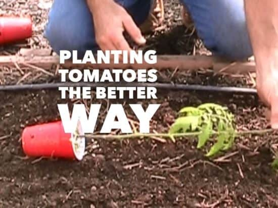 How to Plant Tomatoes for a Stronger, Healthier Plant