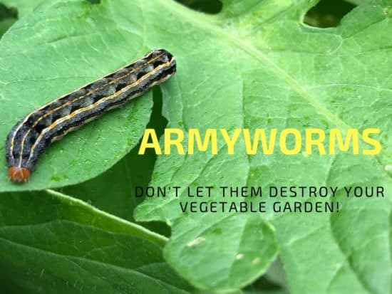 How to Get Rid of Armyworms in your Garden