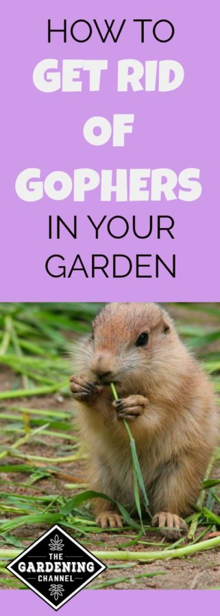 How To Rid Your Yard of Those Pesky Gophers - Gardening ...