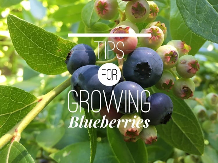 Growing Blueberry Bushes Tips For Success Gardening Channel