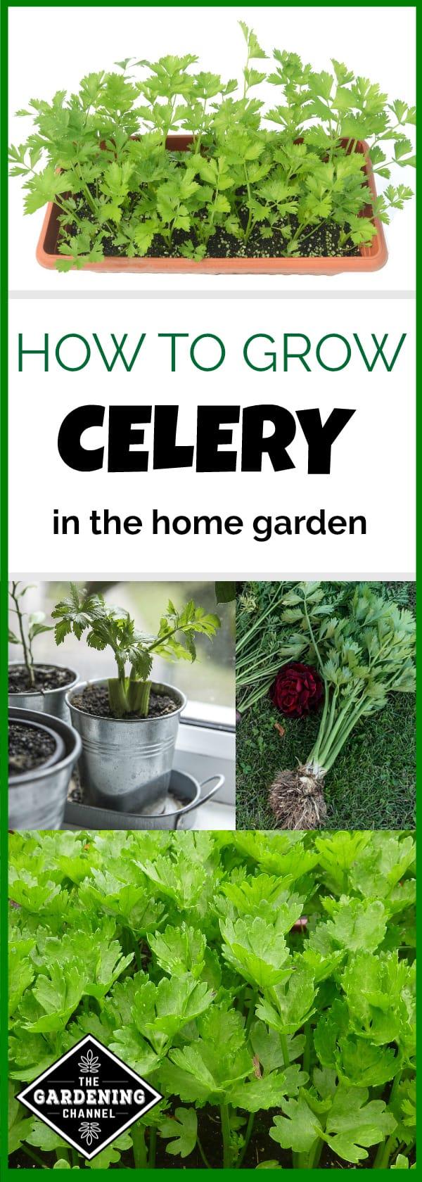 Growing Celery In Home Garden Gardening Channel