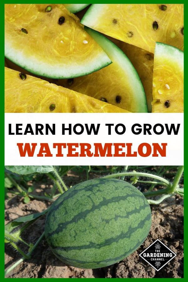 How To Grow Watermelon Gardening Channel