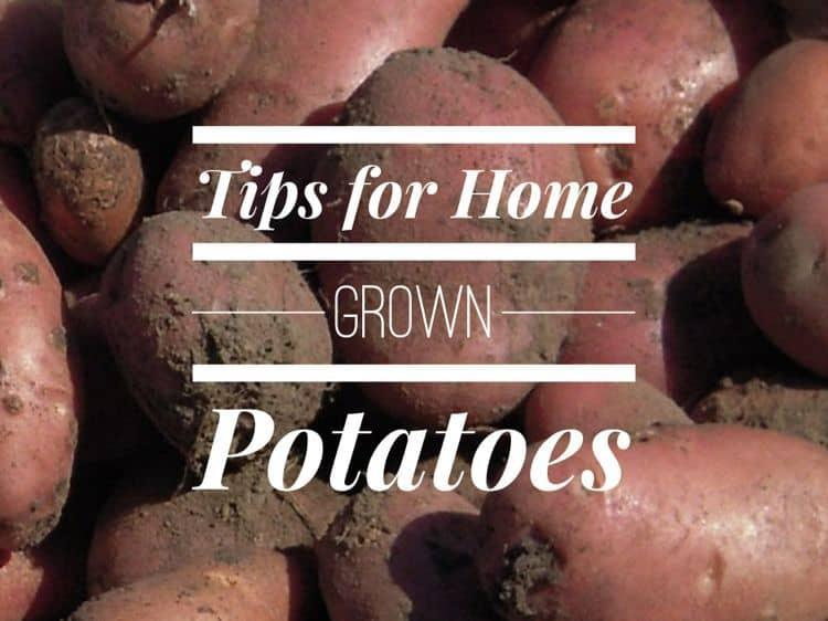 Growing Potatoes In Home Garden Gardening Channel