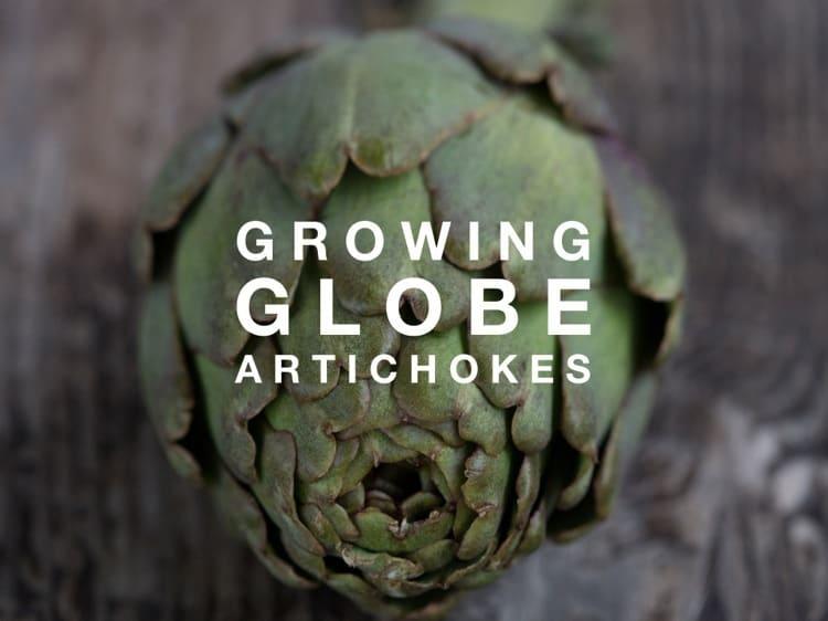 how to grow jerusalem artichokes in australia