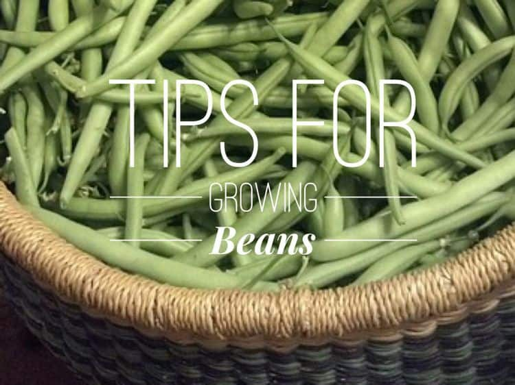 Grow Great Beans And Keep Diseases Away Gardening Channel