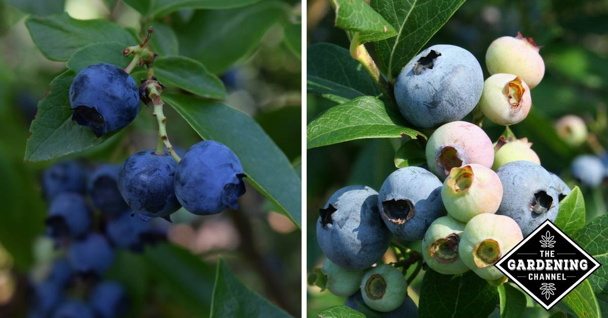 How to Grow Blueberries - Gardening Channel
