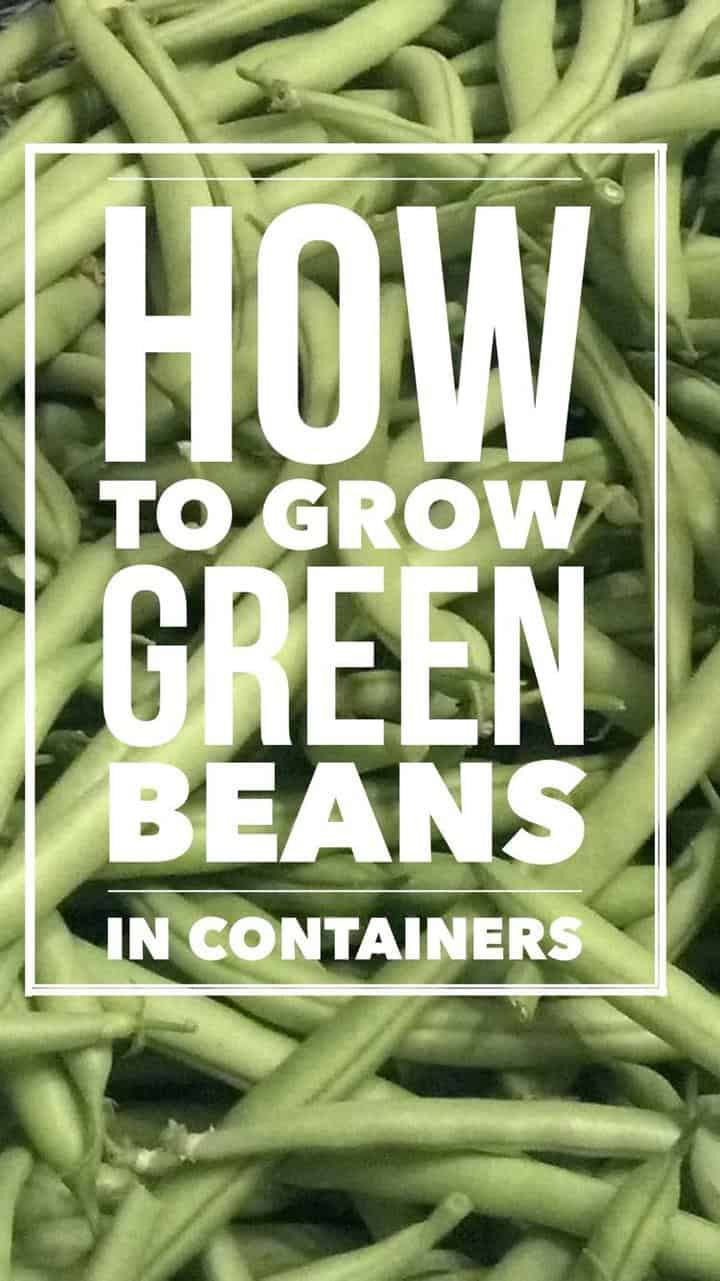 How To Grow It And How To Use It For: How To Grow Great Green Beans In Containers