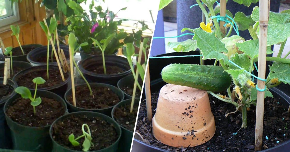 Grow Cucumbers In Pots With These Easy Tips Gardening
