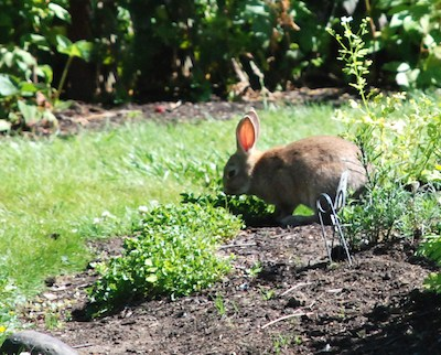 How to keep rabbits out of the garden gardening channel - How to keep rabbits out of a garden ...