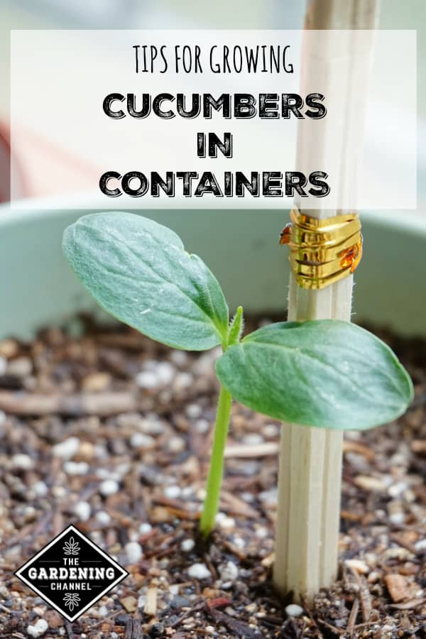 Grow Cucumbers In Pots With These Easy Tips Gardening Channel