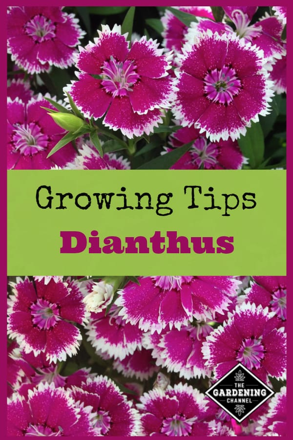 Growing Dianthus Gardening Channel