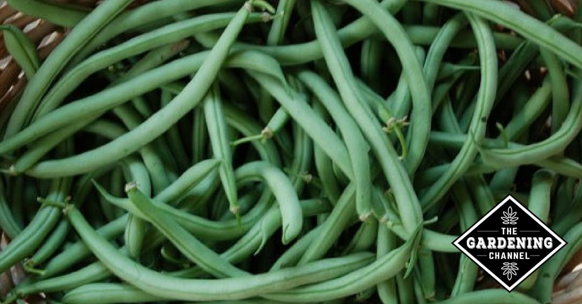 Growing Beans In The Home Garden Gardening Channel