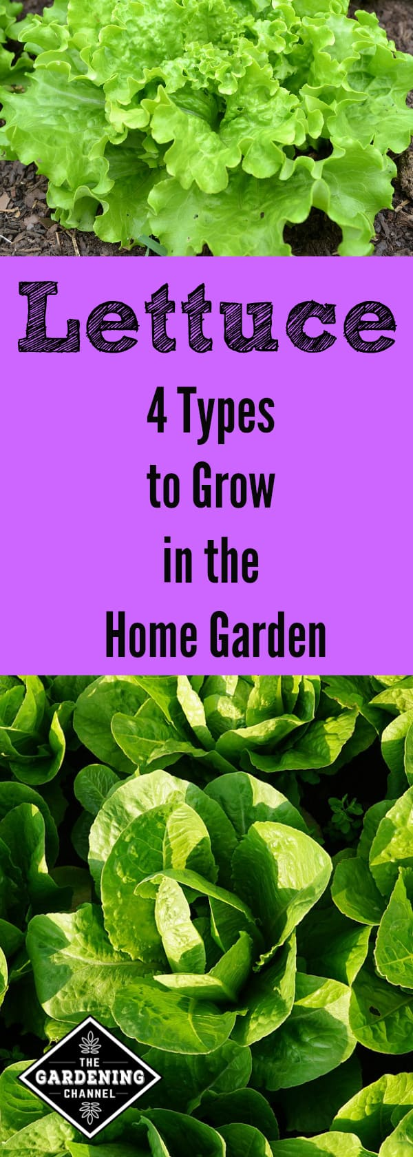 Growing Lettuce In The Home Garden Gardening Channel