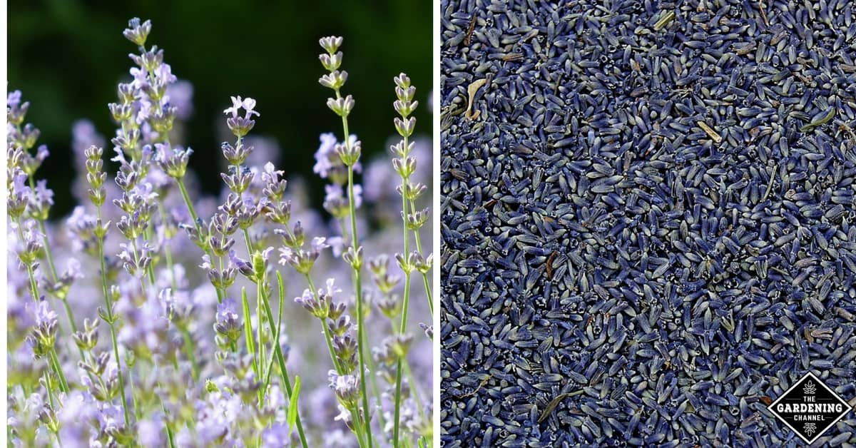 how to grow lavender gardening channel. Black Bedroom Furniture Sets. Home Design Ideas