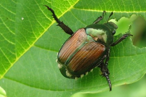 Cc Flickr Photo Of Anese Beetle Courtesy Benimoto