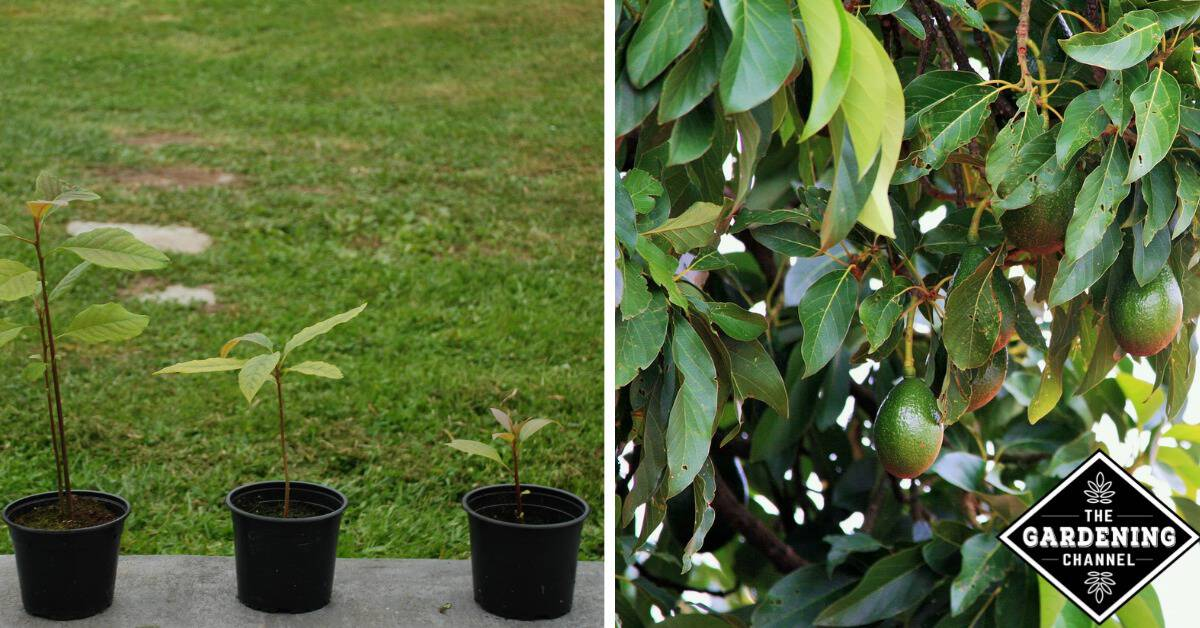 how to grow an avocado tree gardening channel. Black Bedroom Furniture Sets. Home Design Ideas