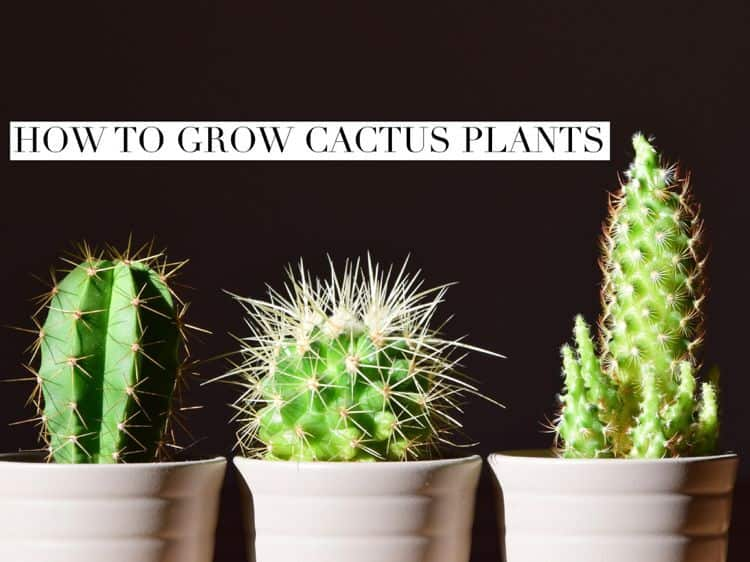 how to grow cactus plants  gardening channel, Natural flower