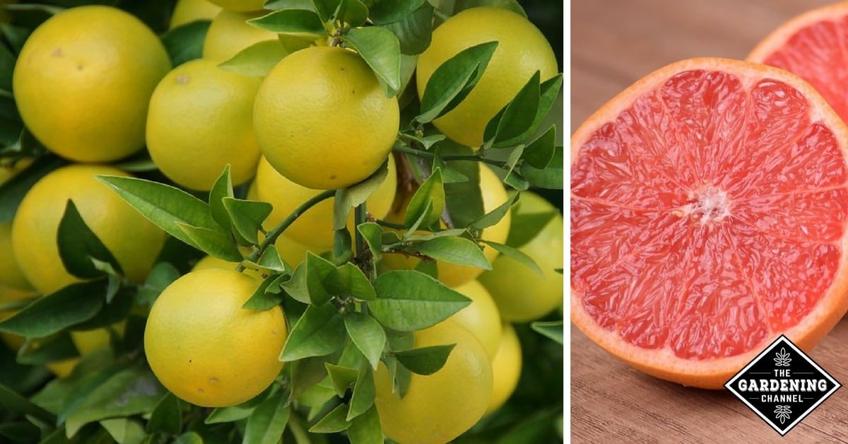 Health Benefits Of Grapefruit Gardening Channel
