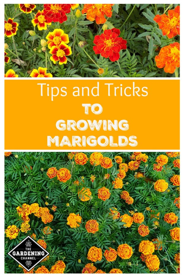 Growing Marigolds Tips And Tricks Gardening Channel