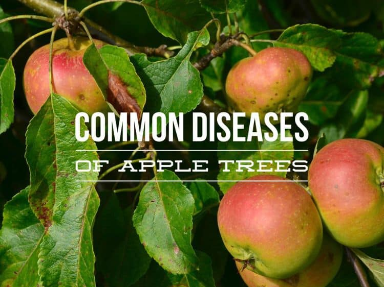 Common Diseases of Apple Trees - Gardening Channel