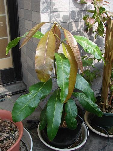 Alyssum Sprouting + Daikon and Mango Sowed… – joeysplanting  |Mango Seed Inside