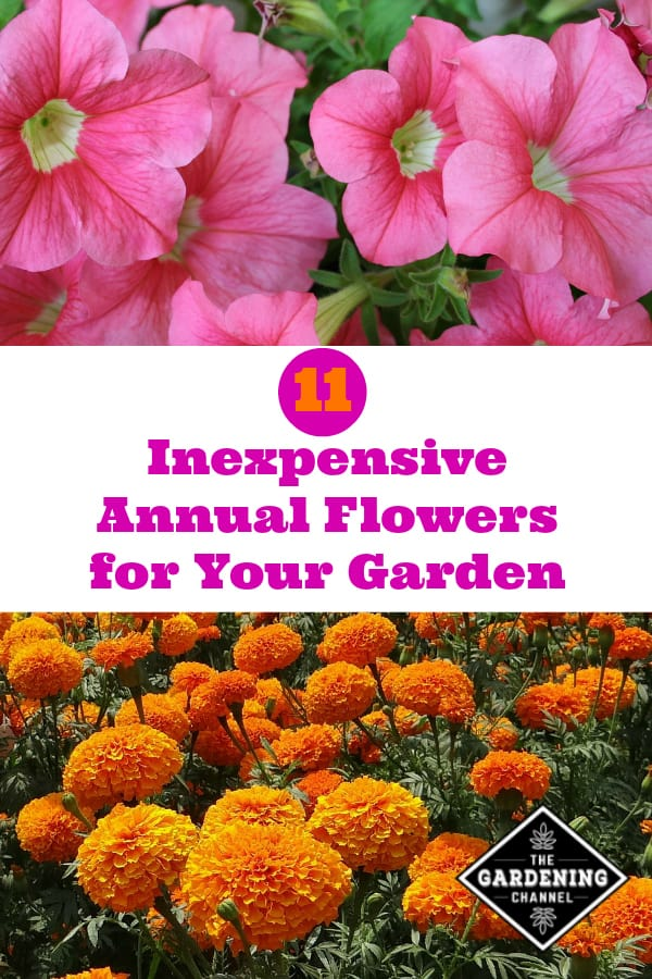 Inexpensive Annual Flowers For Your Garden Gardening Channel