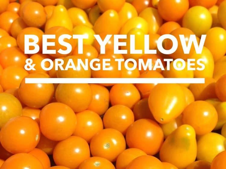 Yellow Tomatoes and Orange Tomatoes: Best Varieties ...
