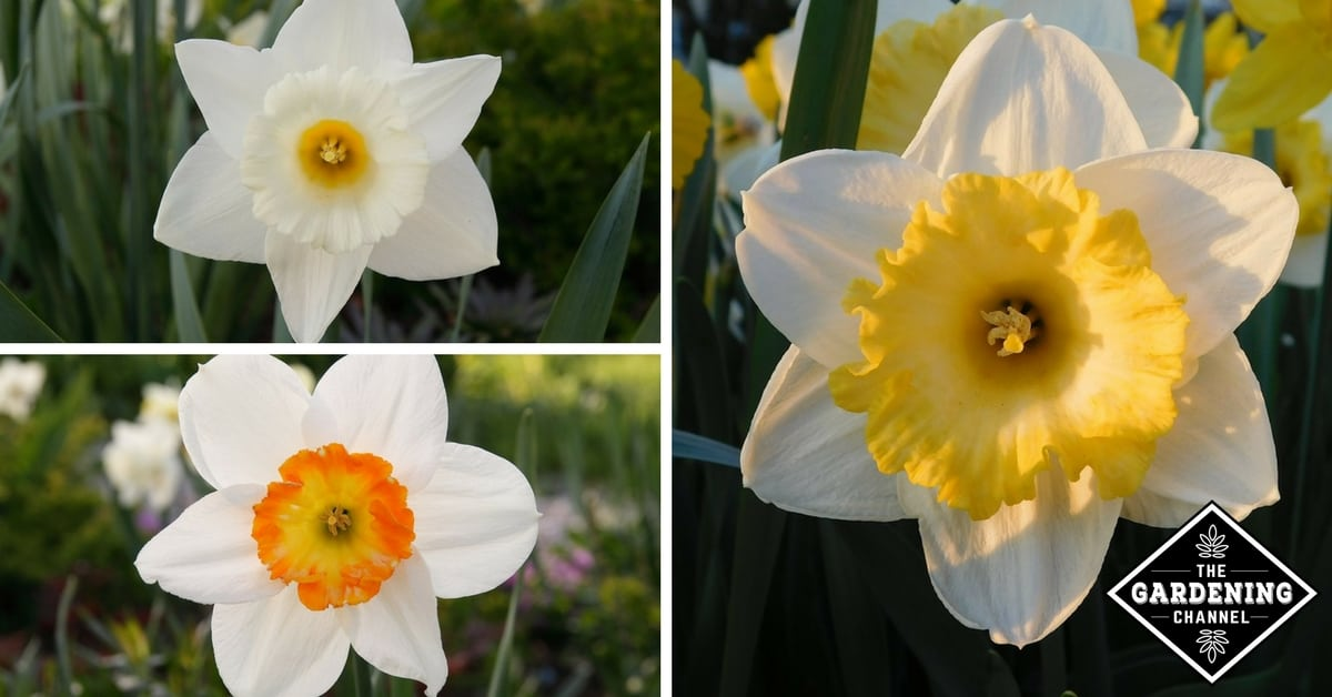 How To Plant Daffodils Gardening Channel