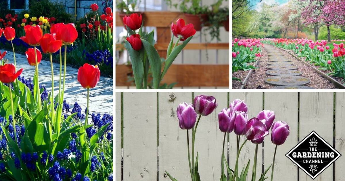 How To Plan For Planting Tulips Gardening Channel