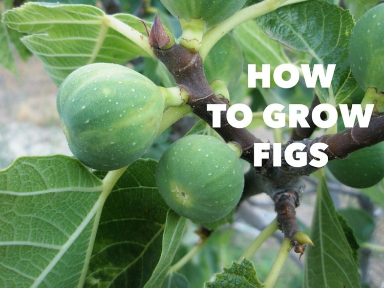 How To Grow Figs Gardening Channel