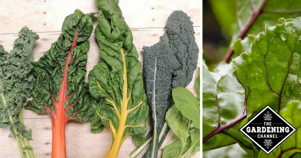 List of Green Leafy Vegetables - Gardening Channel