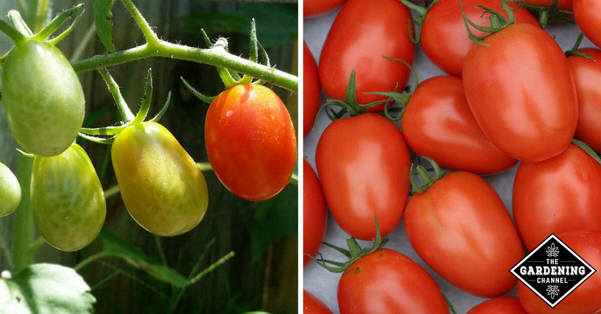 Preserving Roma Tomatoes Canning And Freezing Gardening