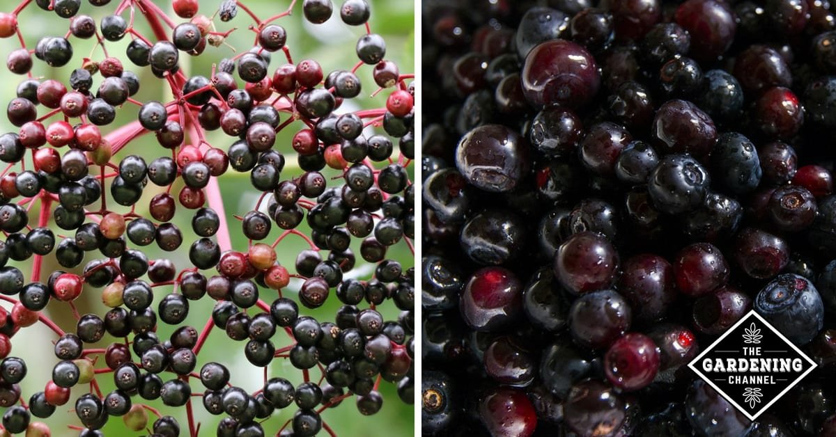 Wild Edible Fruits and Berries