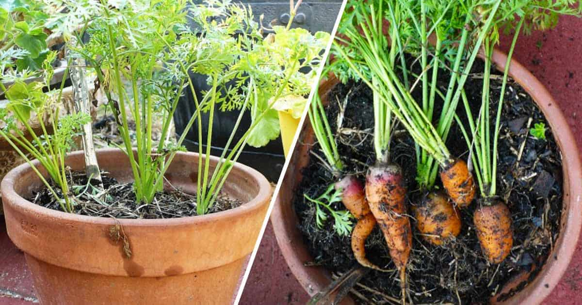Grow carrots in containers gardening channel - How to grow carrots in containers ...