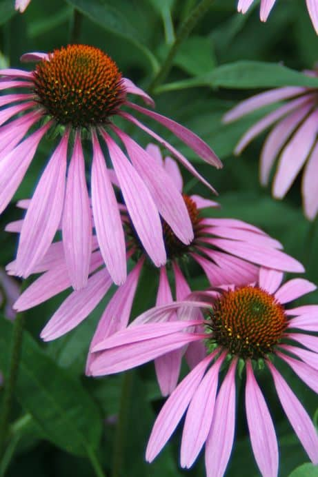 Gardening In Hot Climates Heat Tolerant Perennials
