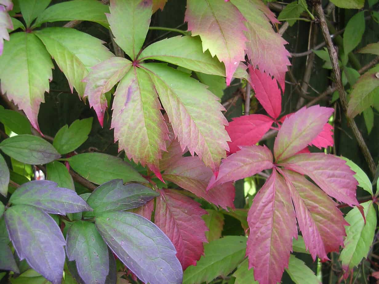 growing virginia creeper vine