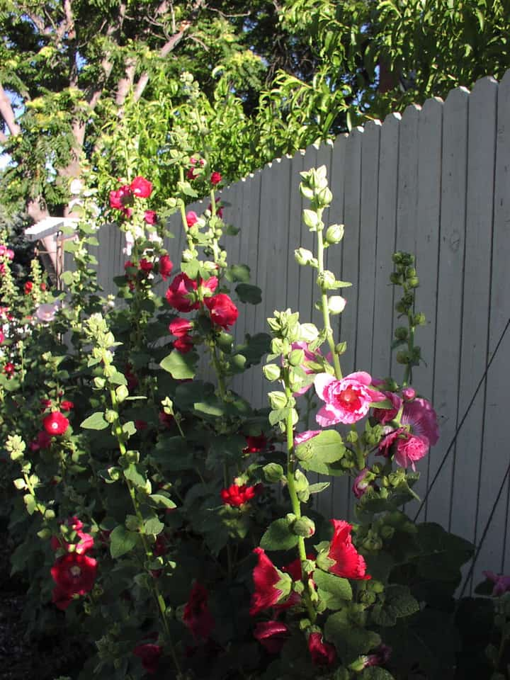 How To Grow Hollyhock Alcea Flowers Gardening Channel