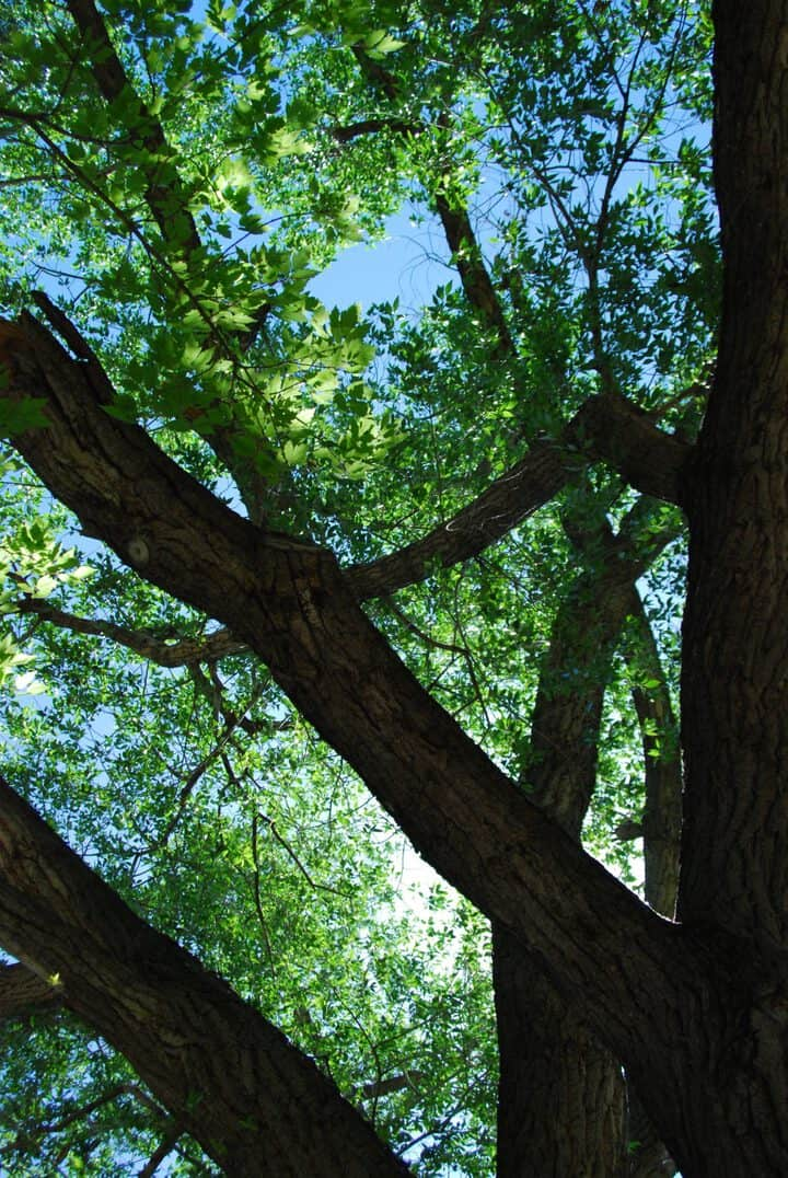 Poplar Trees Identification And Care Gardening Channel