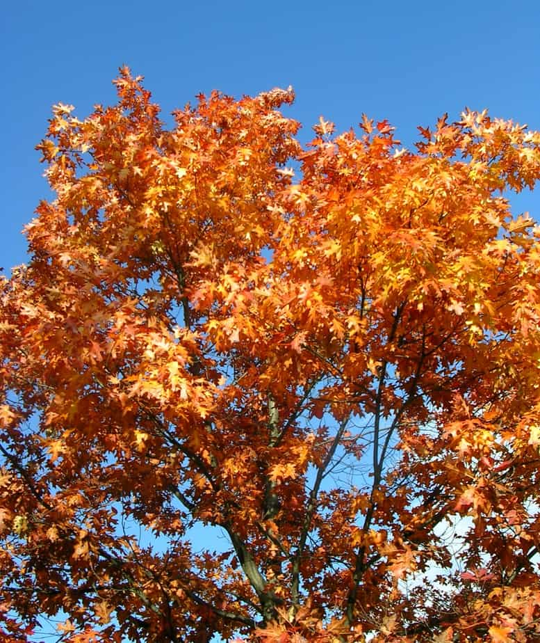 Red oak trees identification and care gardening channel
