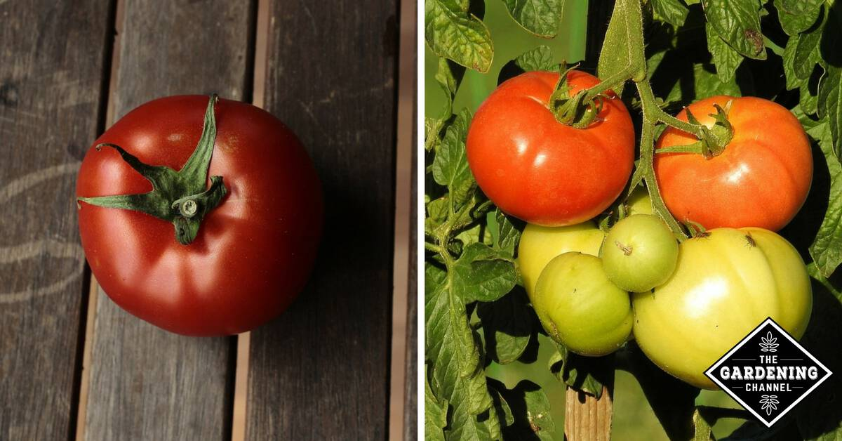 Tomato Growing Problems From Improper Watering - Gardening
