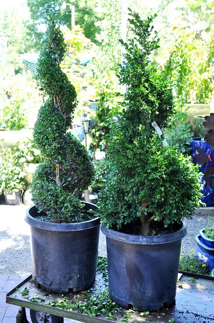 How To Grow Boxwood Shrubs Gardening Channel