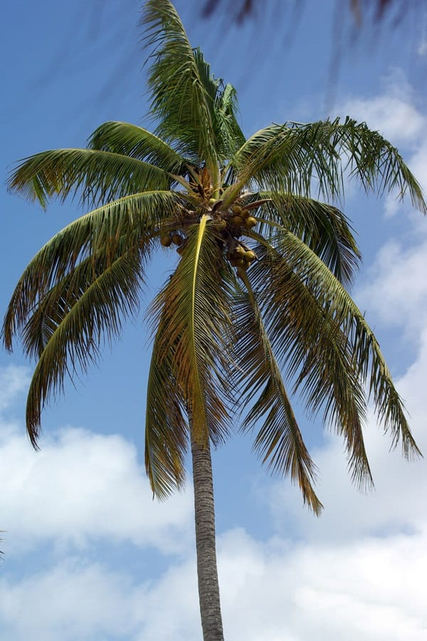 How to Grow Coconut Palm - Gardening Channel