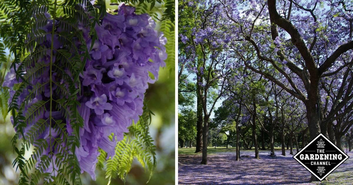 How To Grow The Jacaranda Tree Gardening Channel