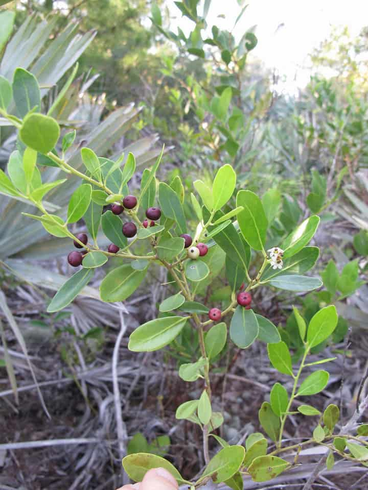 How To Grow Inkberry Evergreen Winterberry Shrubs