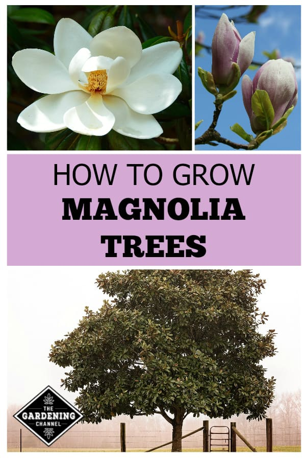 How To Grow Magnolia Trees Gardening Channel