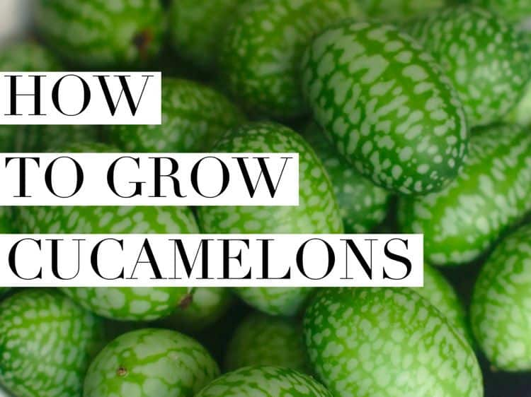 How To Grow Cucamelon Gardening Channel