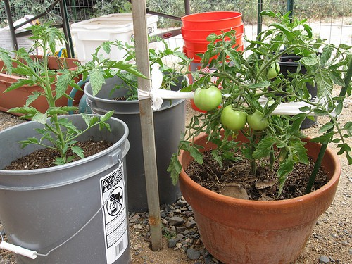 the complete guide to growing tomatoes in containers  gardening, Natural flower